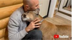 大好きなパパの帰宅を待つピューマ 頬ずりして甘えまくる姿がでっかい猫ちゃんにしか見えない ロシア
