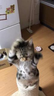「ちゅーるくれよぉー」おやつ欲しさに覚えた猫の「おねだりダンス」に悶絶 賢い猫さんの作戦だった!