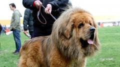 最高価格2億円…中国の「世界一高い犬」の残酷すぎる末路
