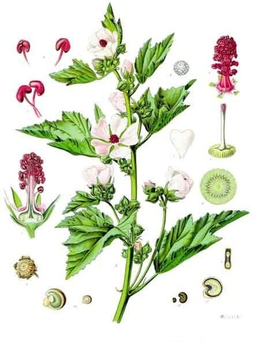 Althaea_officinalis_-_Kohler–s_Medizinal-Pflanzen-008