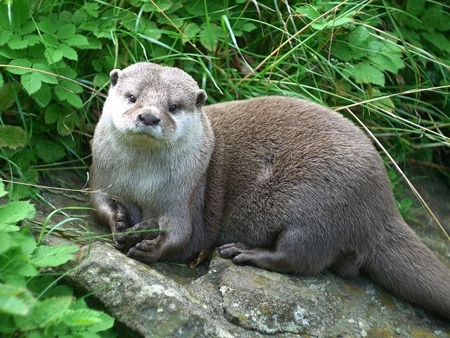 640px-Aonyx_cinerea_-Edinburgh_Zoo-8