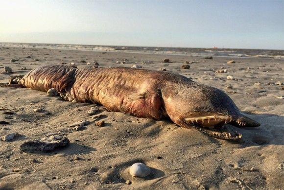 テキサスの海岸に打ち上げられたギザギザの牙を持つ謎生物。そのの正体は?(アメリカ)※閲覧注意