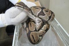 ベランダに体長1.5mのニシキヘビ ペットが逃げ出したか 静岡浜松市