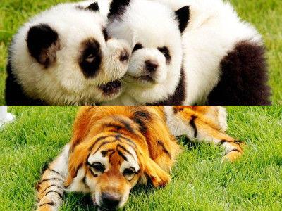 tiger_panda_dog