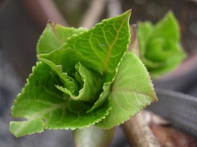 アジサイの葉っぱ