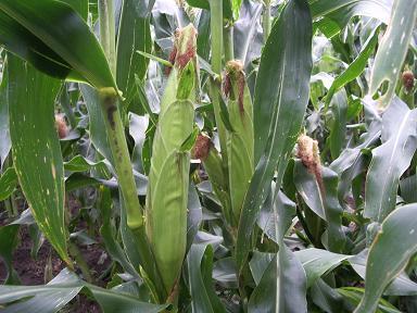 corn-up