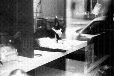 ショーウィンドウの猫