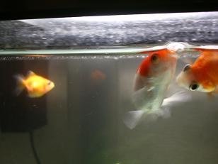金魚のあわ