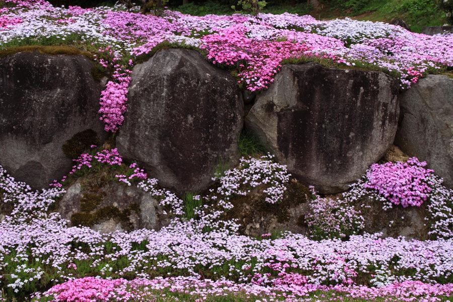 2560-仙石の芝桜-002