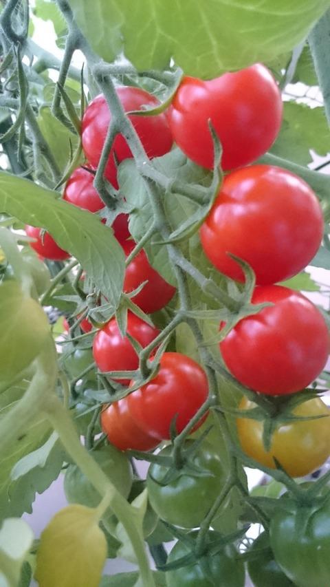美味しいミニトマトを作ろう ~収穫の時期~