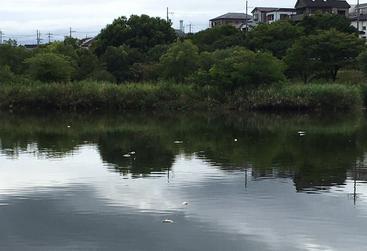 打上川治水緑地で見つかった魚の死骸2
