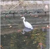 点野の用水路にいた鳥