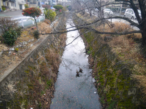 カモ 南前川 2021年1月-2