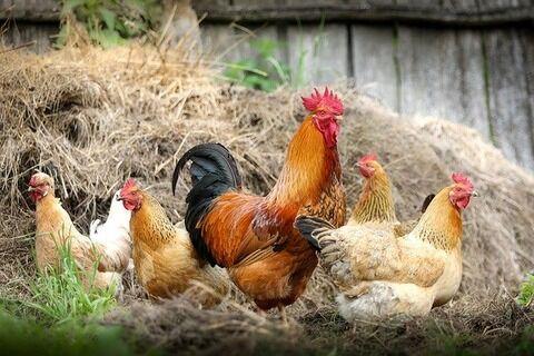 【驚愕】雑草対策に鶏を雇った結果wwwwwwww(画像あり)