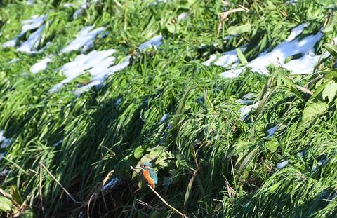 雪の残る土手の弟カワセミD50_2123