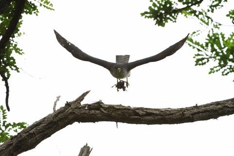 巣に運ぶsD50_7633