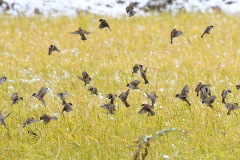 雀の大群sD50_1831