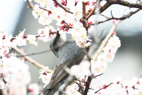 梅の蜜を吸うヒヨドリtsD5D_8402_00001