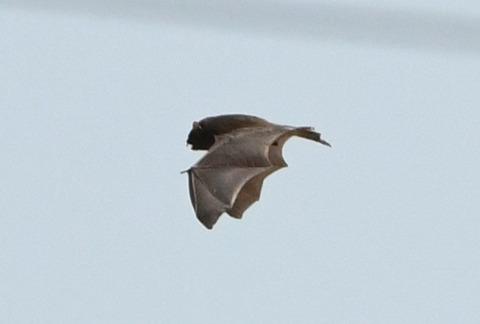蝙蝠tsD50_1085