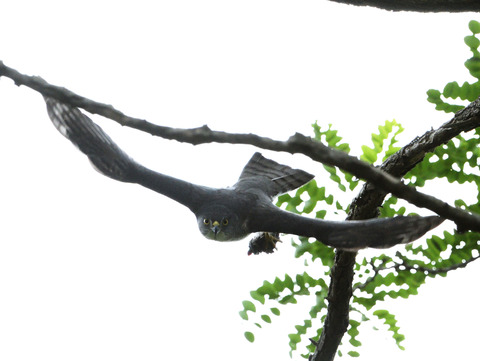 巣に運ぶ5tsD50_7799