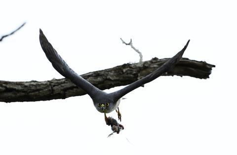 巣に運ぶ4tsD50_8214