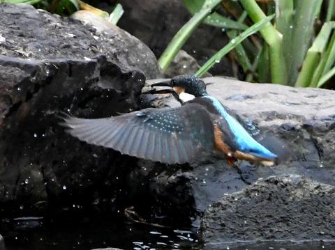 幼鳥石をくわえるtsD50_2093