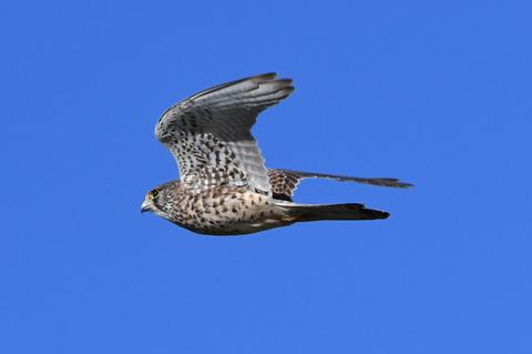 チョウゲンボウの飛行tD50_2004