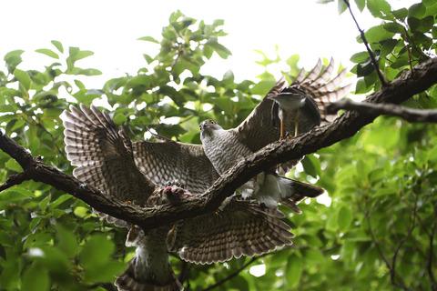 母親ツミが餌を運ぶ3sD50_0425