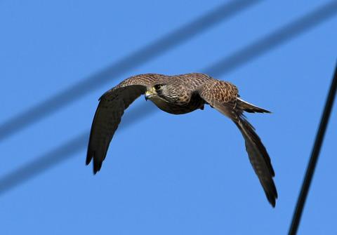 チョウゲンボウ飛ぶ2tD50_2031