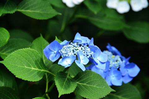 明月院ブルーsD8S_4625