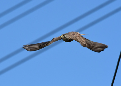 チョウゲンボウ飛ぶ3tD50_2032