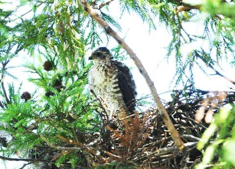 巣の雛tsD50_8992