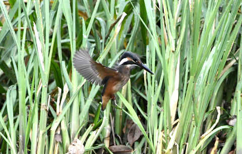 幼鳥のホバリングtsD50_2089