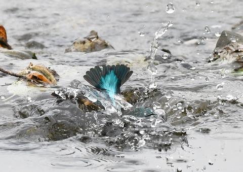 尾羽を出し水浴びtsD50_5883