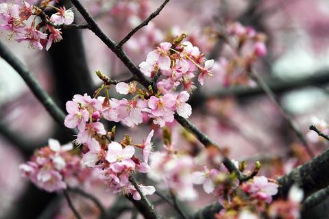 寒桜D50_0434