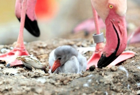 王子動物園でフラミンゴのひなが誕生