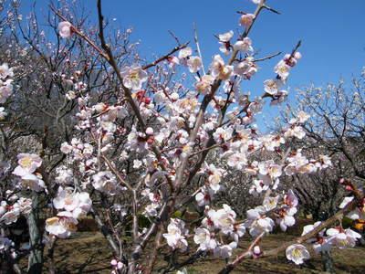 20090221055.jpg 薬師池公園の梅の花が見頃です