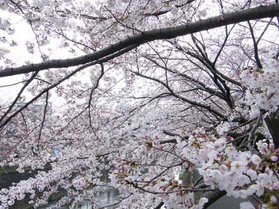 20090404078.jpg 恩田川の桜が見頃です