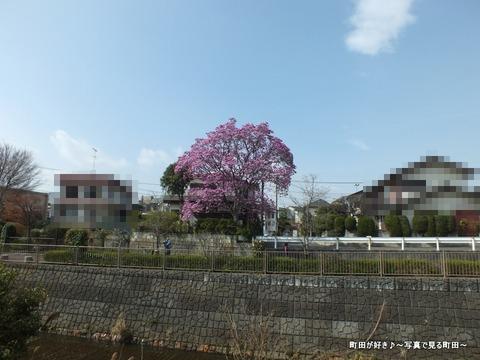 2013032072紫色のモクレンの花が満開です@恩田川