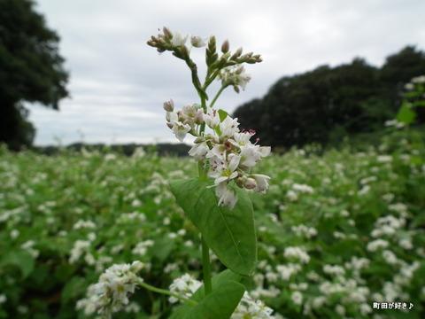 2011092343残念な、蕎麦の白い花たち