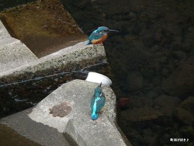 2010102439恩田川のカワセミ