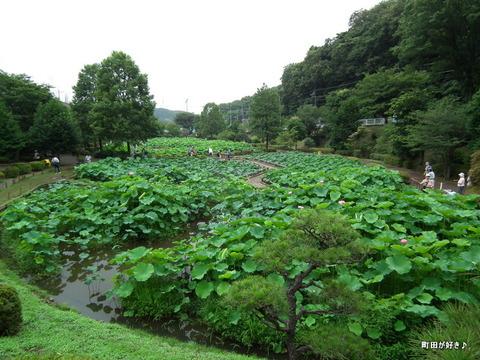 2012072217薬師池公園の大賀ハス