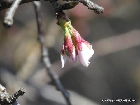 2014032302つぼみ@恩田川のソメイヨシノ