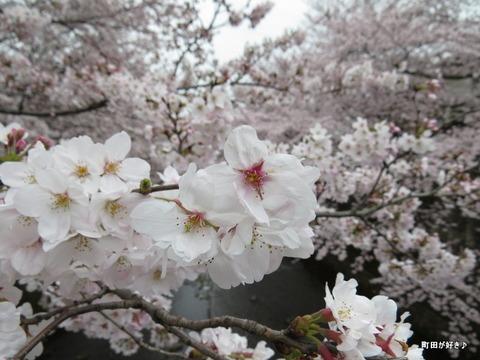20160402126恩田川の桜