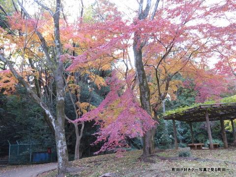 2013112445芹ヶ谷公園の不思議な紅葉