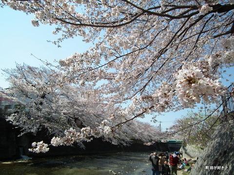 20120408114高瀬橋付近の桜、満開です