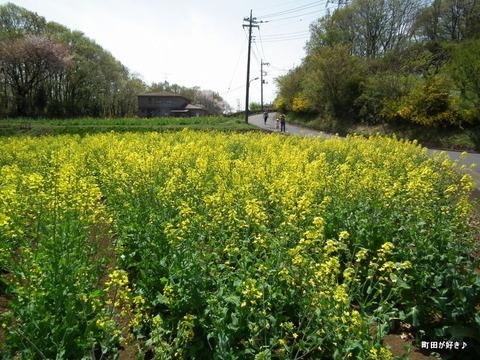 20110416024七国山の菜の花畑