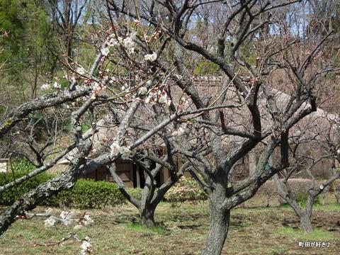 2012032042薬師池公園の梅の花