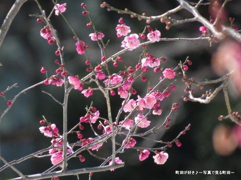 20140222069雪と梅の花@薬師池公園