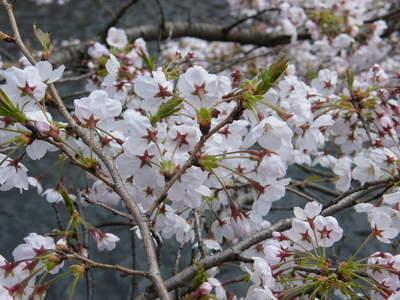20090404022.jpg 恩田川の桜が見頃です